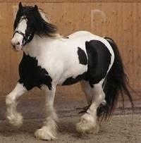 Aké je to plemeno koňa + aký chod je na obrázku? (náhled)