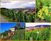Na území Prahy bylo v minulosti vysázeno mnoho vinic. Některé se zachovaly a pěstuje se na nich vinná réva dodnes. Jak se jmenuje vinice na obrázku č.15? (náhled)