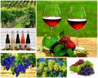 Který kraj v ČR nejvíce proslul svými vinicemi, pěstováním vinné révy a největší produkcí kvalitních, značkových vín? – fotografie č.1 (náhled)