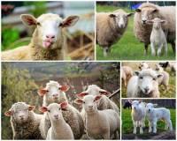 Který kraj v ČR se proslavil tradičním chovem ovcí? – fotografie č.12 (náhled)