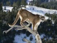 Kde se vyskytuje kočkovitá šelma, která loví převážně skokem z výšky? (náhled)