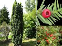 Která nahosemenná rostlina je téměř celá jedovatá? (náhled)