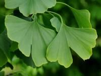 Které z nahosemenných rostlin patří tento list? (náhled)