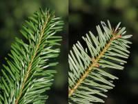 Který strom má jehlice se dvěmi bílými proužky na spodní straně? (náhled)