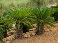 """Mezi """"živé fosílie"""" můžeme zařadit tyto nahosemenné rostliny: (náhled)"""