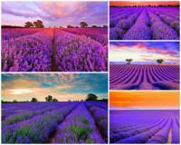 Jak se jmenuje kraj, který proslul krásou voňavých levandulových polí na obrázku č.6? (náhled)