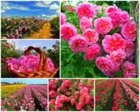 Údolí růží na fotografii č.4 patří k unikátním a nejvoňavějším místům v Evropě. Na zdejších políčkách se pěstují statisíce růží, z jejichž květů se lisuje růžový olej, který má široké uplatnění v kosmetickém průmyslu. Ve které zemi, která ve světě proslula výrobou růžového oleje, se Údolí růží rozkládá? (náhled)