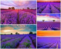 Jak se jmenuje kraj, který ve světě proslul krásou voňavých levandulových polí na obrázku č.7? (náhled)