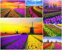 K nejkrásnějším místům světa patří i tulipánová pole na fotografii č.1. Pro který stát jsou tulipánová pole a větrné mlýny typické? (náhled)